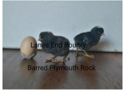 Barred Plymouth Rock chicks.