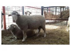 Large Merino Rams for sale