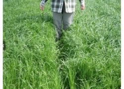 A new fodder grass