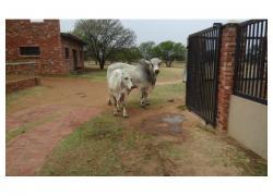 Brahman Bull