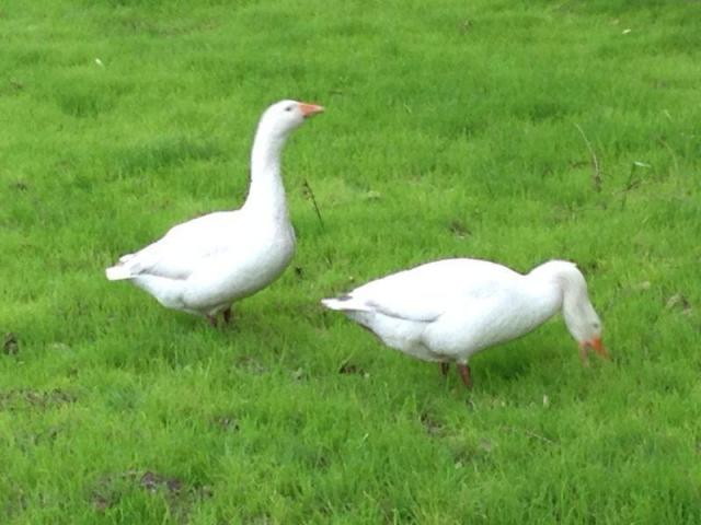 Organic grass for Poultry