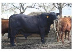 Brangus Bulls