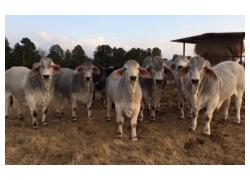 Cheap Brahman Cows
