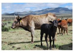 Healthy Nguni cattle online