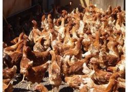 Brown Lohmann Chickens