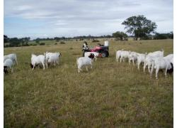 Lambs and Sheep for sale