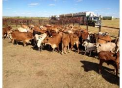 Red and White  Bonsmara Cattle