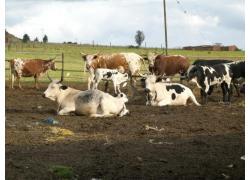 White  Bonsmara Cattle
