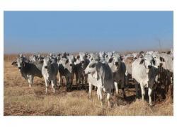 White Brahman Heifers