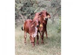 Brahman Cows