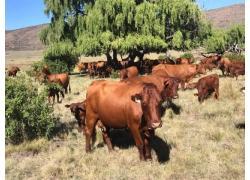Heifers cow Online