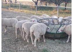 Buy Merino Lambs online