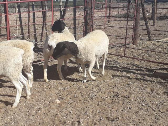 Suppliers of Dorper sheep