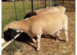 lambs for sale online