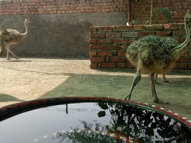 supplier of Ostriches online