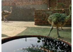 supplier of Ostriches online