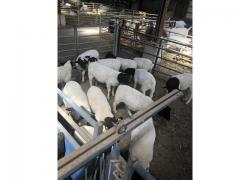 Buy Dorper sheep Online