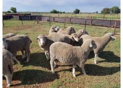 Merino Lambs online