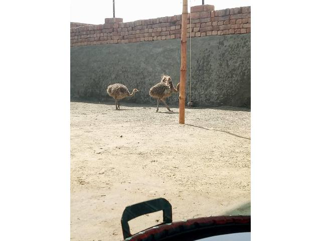 Young Ostrich chicks online
