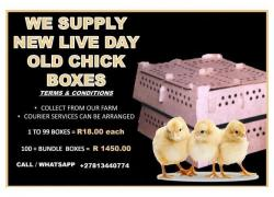 Day old broiler chicks