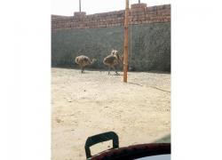 supplier of Ostriches