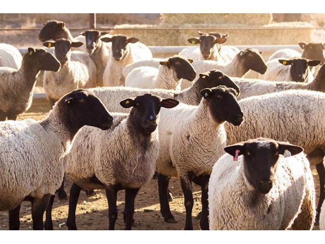 Dorper sheep