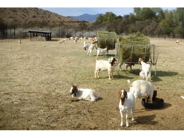 Boer Goats For sale