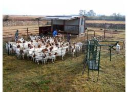 Boer Goats on Sales