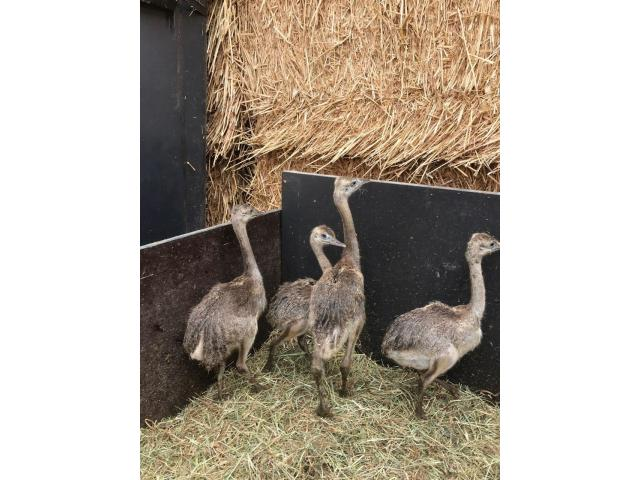Rhea Chicks For Sale