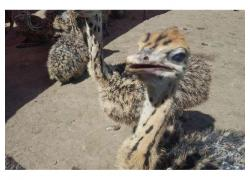 Ostrich chicks for sale...
