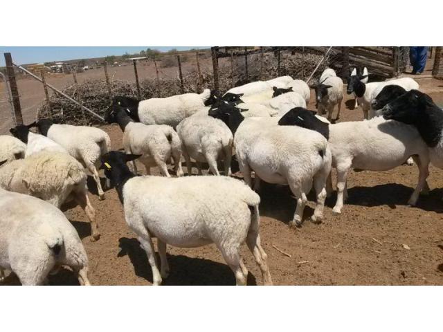 Senaan/Boer goat .