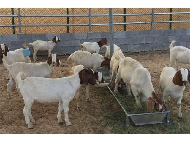 Ewe lambs available for sale.