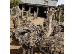 Ostrich chicks available.