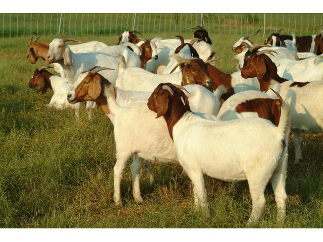 100%  Healthy Boer Goats