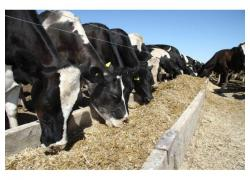 Cattle Feeds for sale