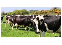 Friesian Herd cow for sale
