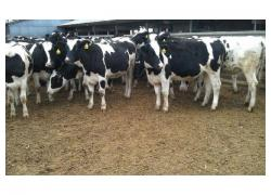 Friesian Cross Cows for sale