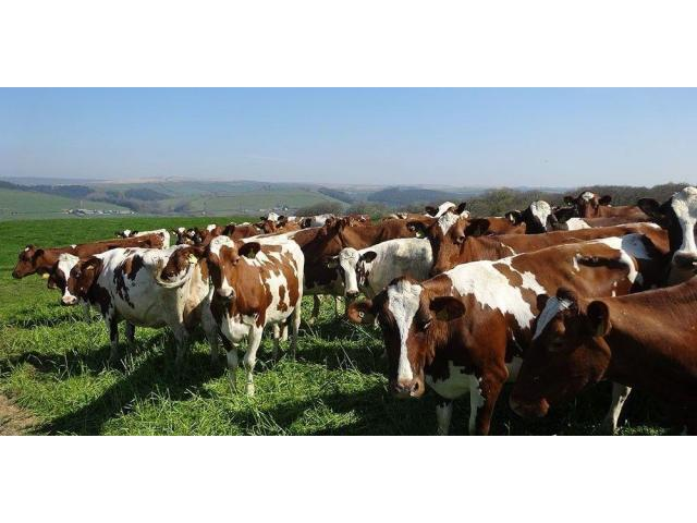 Ayrshire Herd for sale