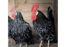 Ancona chickens for sale
