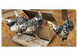 Hamburg chickens for sale
