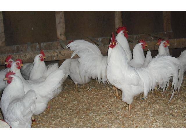 Leghorn chickens for sale