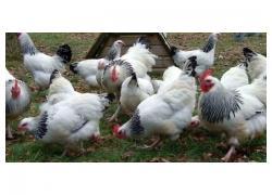 Sussex chicken for sale