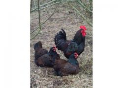 Barnevelder chicken for sale