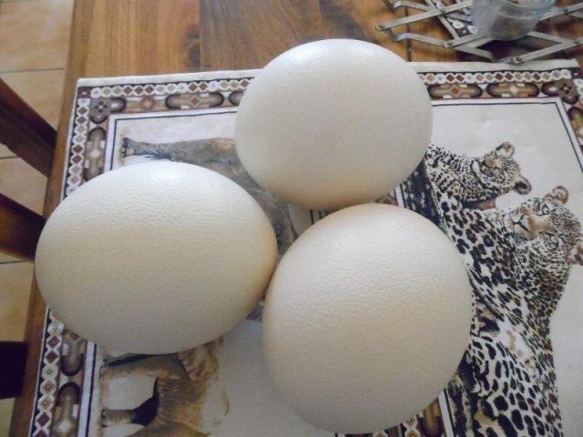 Ostrichs Fertile Eggs for sale
