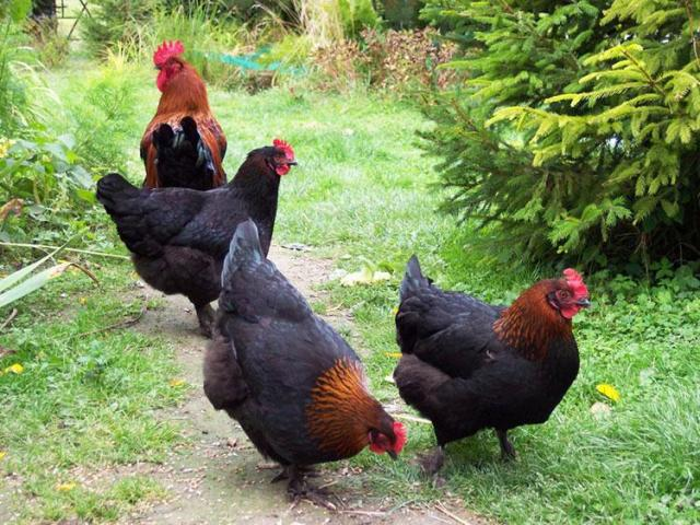 Marans chicken for sale