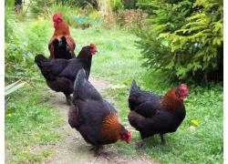 Marans chicken for sale