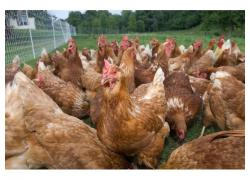 Hybrid chickens for sale