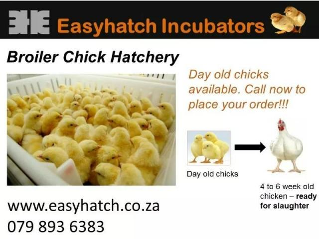 A Grade broiler chicks