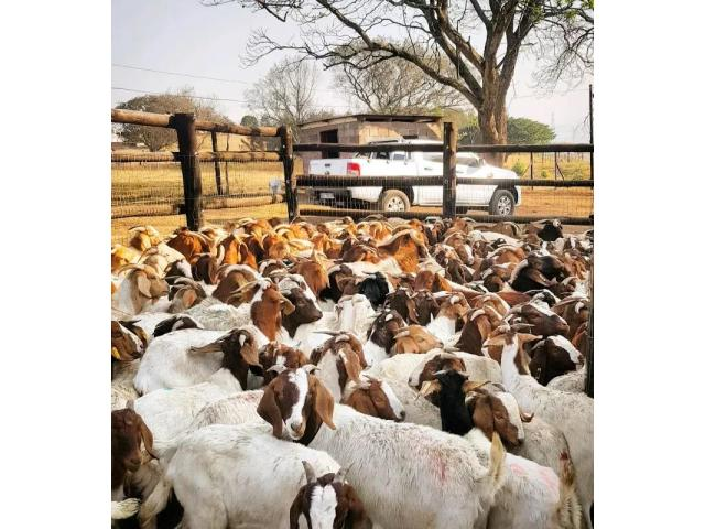 New Goats Available Weekly