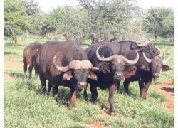 Young Buffalo Bulls